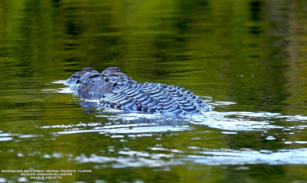 WAS THIS THE 'GATOR THAT GOT THE LITTLE GUY'S TAIL? WE WILL NEVER KNOW, BUT  LITTLE GUY WAS TAKING NO CHANCES, HE TOOK OFF IN THE OPPOSITE DIRECTION.   IMAGE: R. KRAVETTE