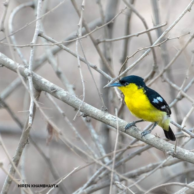 A MALE COMMON IORA IN BREEDING PLUMAGE,  ONE OF THE MANY BEAUTIFUL BIRDS THAT CAN  BE SEEN IN GIR NATIONAL PARK. IMAGE: HIREN KHAMBHAYTA