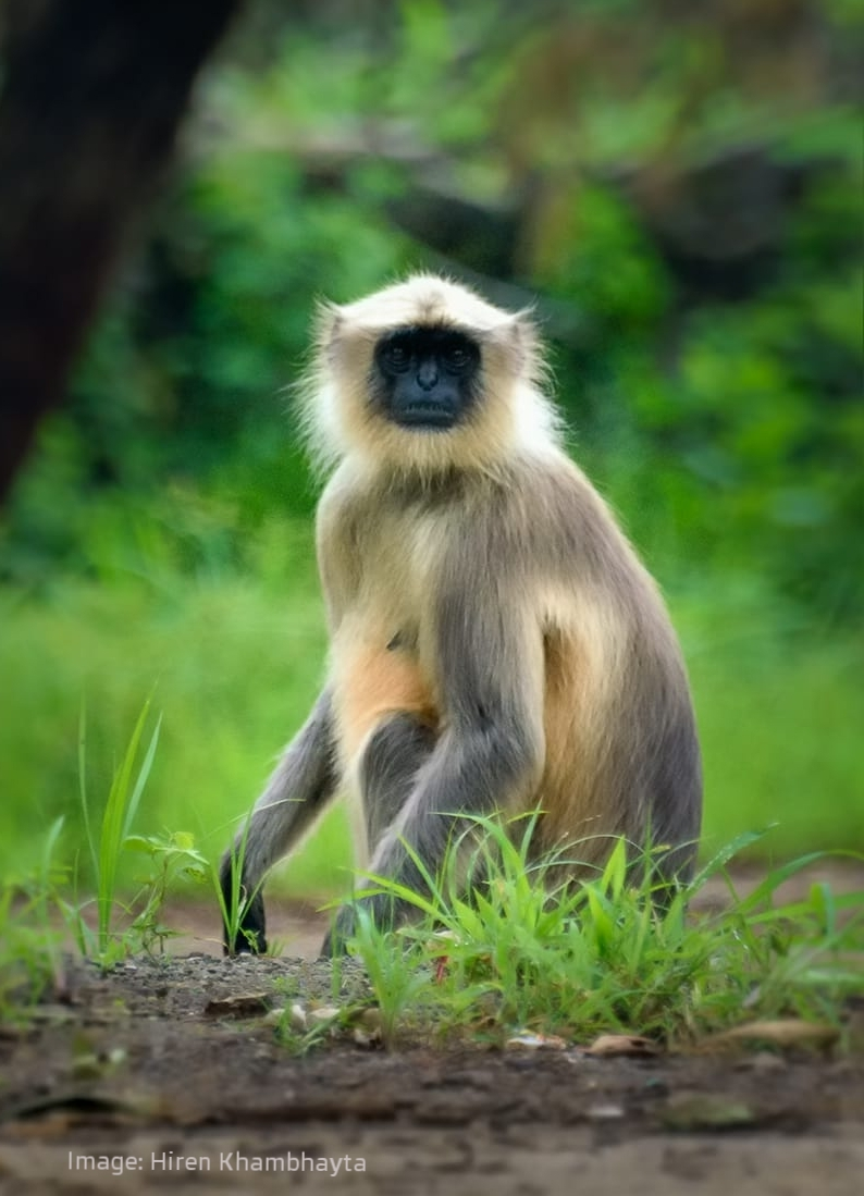 COMMON OR HANUMAN LANGUR WATCHING THE WATCHERS.  IMAGE: HIREN KHAMBHAYTA