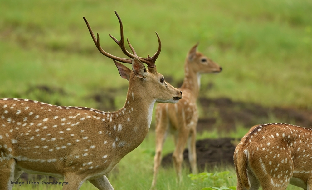 ONLY THE MALE CHITAL OR SPOTTED DEER HAS ANTLERS. LISTEN FOR HIGH PITCHED GROWLS THEY MAKE TO PROTECT THEIR FEMALES. IMAGE: HIREN KHAMBHAYTA