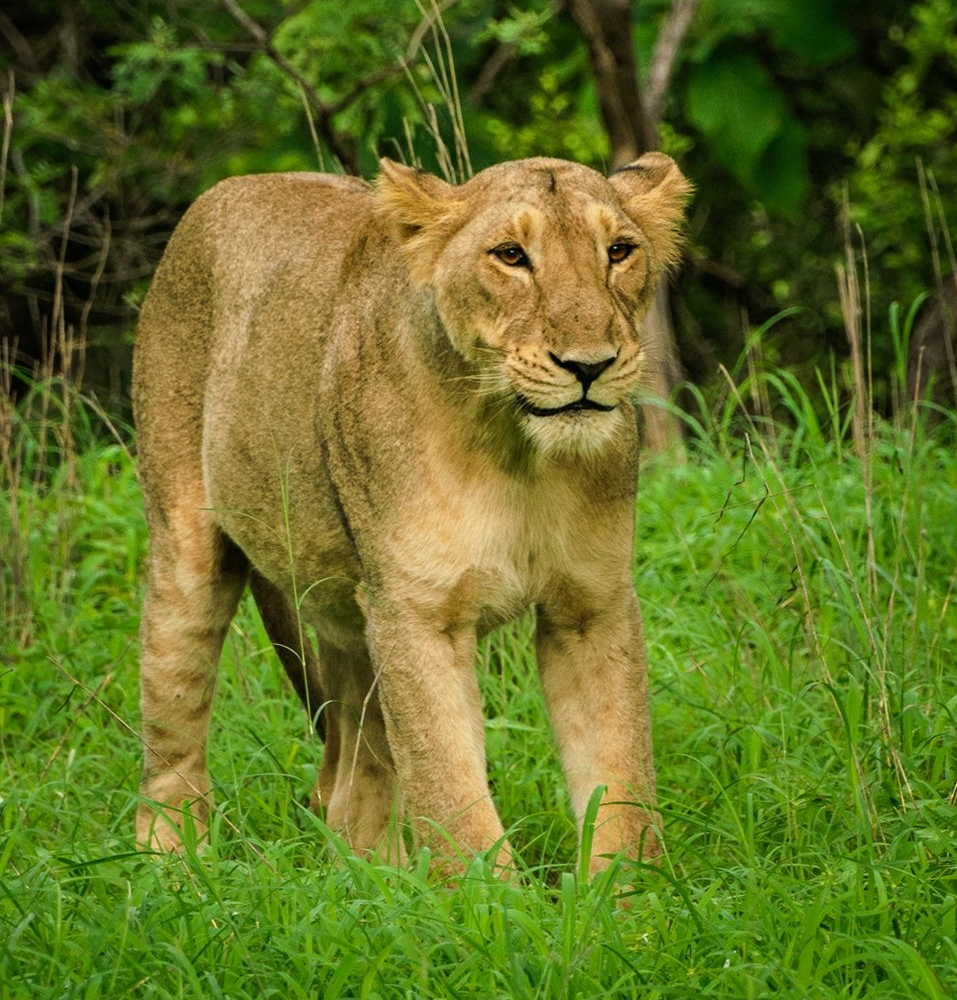 Last-Asiatic-Lion-Gir-national-park.jpg