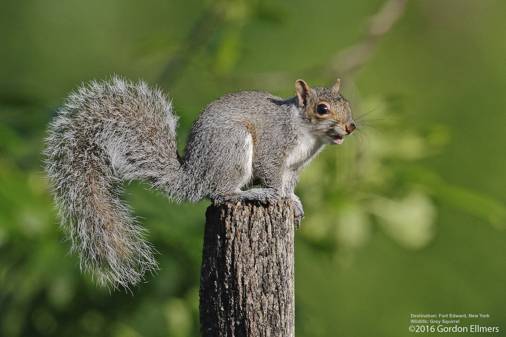 Gray-squirrel-New-York-wildlife-photography.jpg