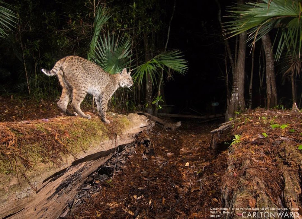 THE BOB CAT IS THE SECOND LARGEST WILD CAT IN FLORIDA. THEY GET THEIR NAME FROM THEIR NATURALLY SHORT TAIL, LIKE MOST CATS THEY ARE MOSTLY NOCTURNAL, AND GOOD TREE CLIMBERS - BUT THEY ARE ALSO GOOD SWIMMERS. IMAGE: CARLTON WARD THANKS TO FLORIDA PANTHER WILDLIFE REFUGE.