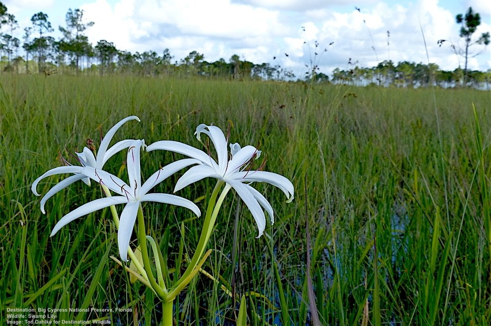 SWAMP LILIES, LIKE GLISTENING WHITE STARS DOTTING THE MARSH GRASS, ARE PART OF THE WONDERFUL NATURAL WORLD AROUND EVERGLADES CITY, THE SOUTHWESTERN EVERGLADES, FLORIDA IMAGE: TOD DAHLKE FOR DESTINATION: WILDLIFE.