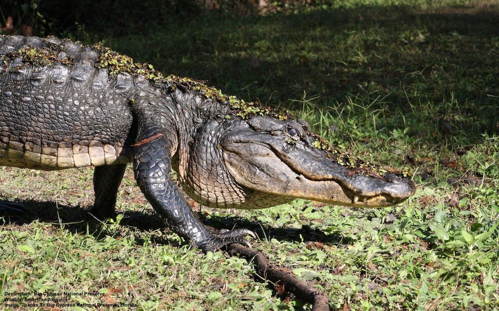 AN AMERICAN ALLIGATOR OUT FOR A STROLL IN BIG CYPRESS NATIONAL PRESERVE, FLORIDA IMAGE: THANKS TO BIG CYPRESS NATIONAL PRESERVE, FLORIDA