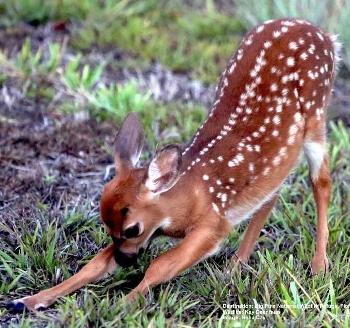 Key_Deer-faun_Big_Pine_National_Wildlife_Refuge_Image_Noni_Cay.jpg