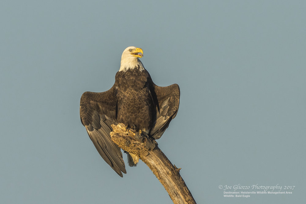 BALD EAGLES ARE NOT KNOWN FOR THEIR SENSE OF HUMOR BUT THIS GUY JUST WATCHED THE PINK AND WHITE BIRD SHOW FROM A SHORT DISTANCE AWAY, THEN SEEMED TO SAY GOOD-BY TO JOE GLIOZZO AND FRIENDS AS THEY LEFT FOR THE EVENING. PHOTO: THANKS TO ©JOE GLIOZZO