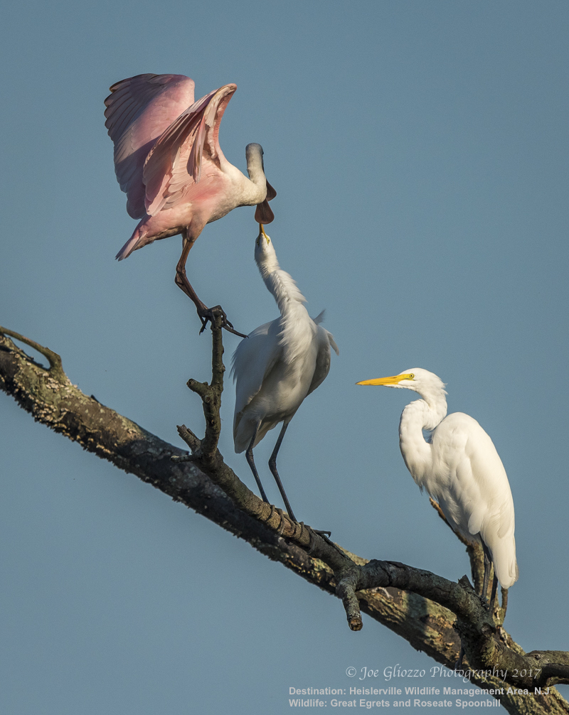 "OLD FRIENDS? GREAT EGRET AND ROSEATE SPOONBILL SEEM TO 'KISS"" HELLO.  AMAZING BIRDWATCHING BEHAVIOUR! IMAGE: JOE GLIOZZO, WILDLIFE PHOTOGRAPHER."