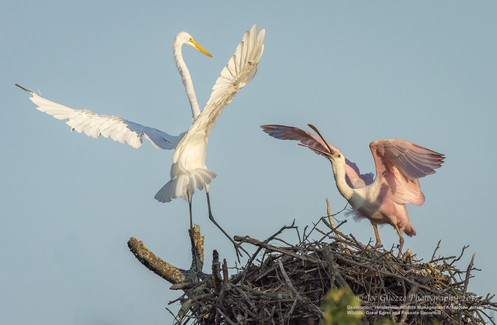 A GREAT EGRET VISITS THE LOST ROSEATE SPOONBILL IN HIS STOLEN BALD EAGLE NEST.  IMAGE: THANKS TO JOE GLIOZZO, WILDLIFE PHOTOGRAPHER.