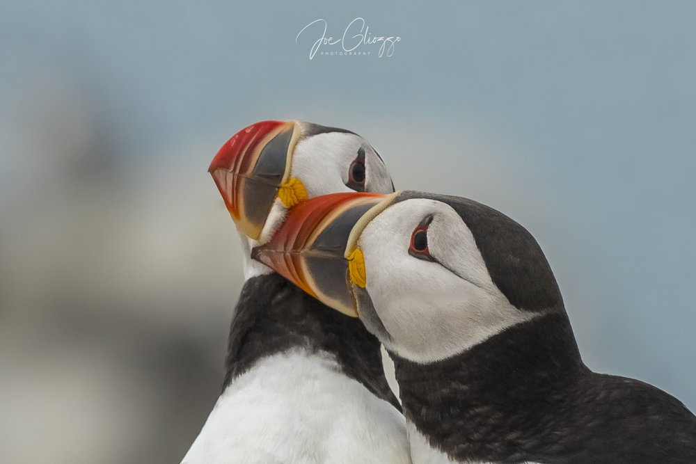 A PAIR OF ATLANTIC PUFFINS CANOODLE ON MACHIAS SEAL ISLAND, THEIR ROCKY ISLAND BREEDING GROUND OFF THE COAST OF MAINE. IMAGE: JOE GLIOZZO