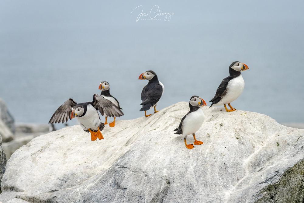 Puffins-Macias-seal-island-Maine-JGliozzo .jpg