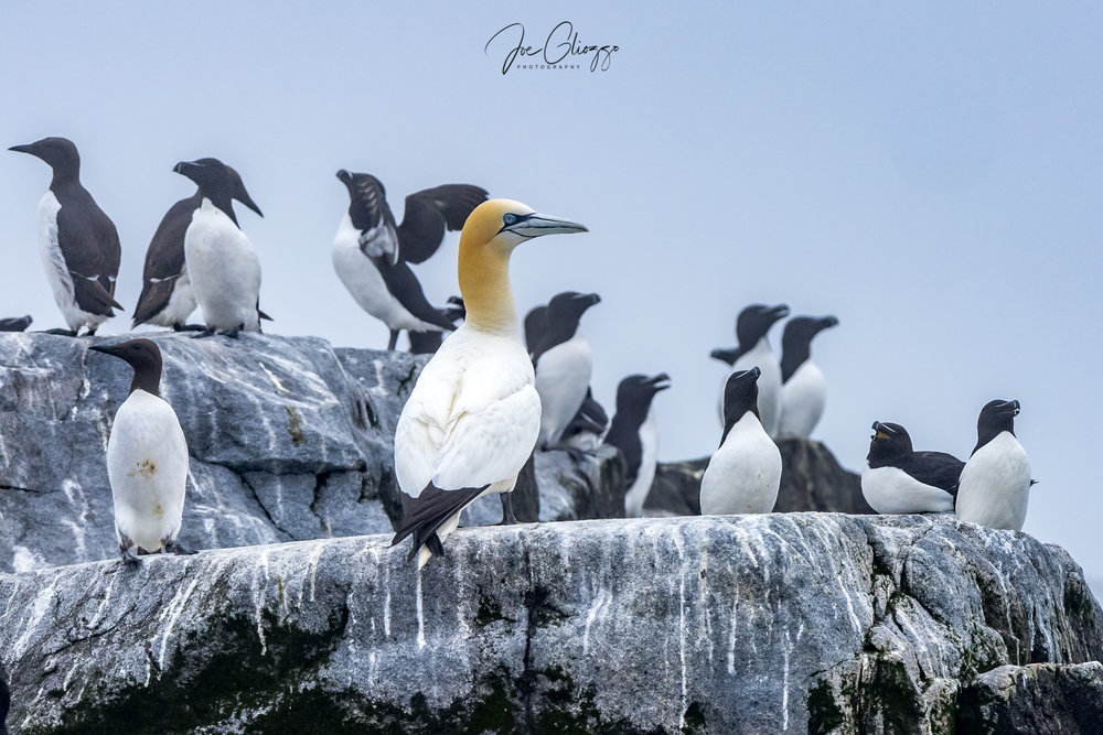 NORTHERN GANNET TAKES HIS PLACE AMONG THE RAZORBILL AUKS ON A WELL USED ROCK MACHIAS SEAL ISLAND