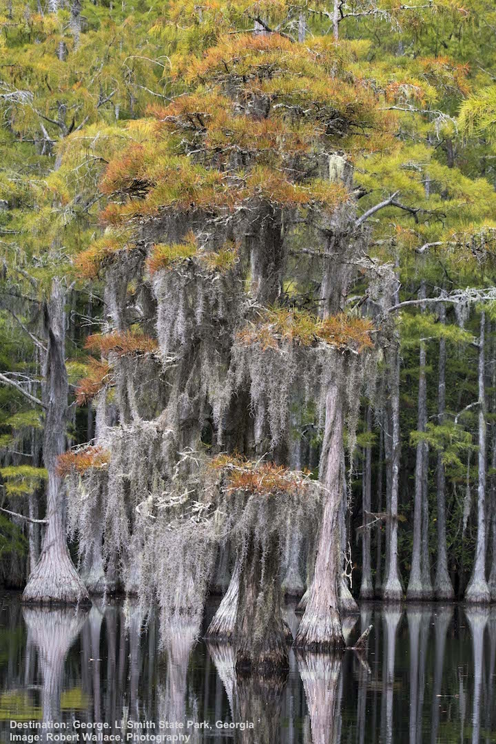 SPANISH MOSS DRAPES THE CYPRESS & TULEPO TREES. IMAGE: ROBERT WALLACE