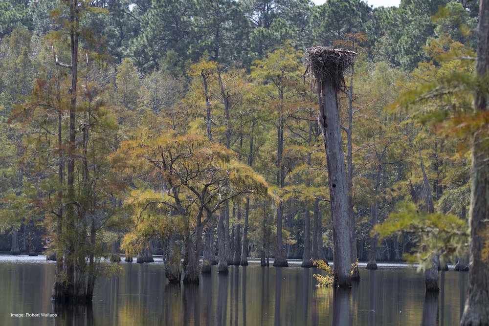 "GEORGE. L. SMITH STATE PARK (USUALLY) HAS WHITE IBIS, GREAT BLUE HERON, OSPREY, WOODPECKERS, SONGBIRDS AND MORE. DID I MENTION 'USUALLY"" ? IMAGE: ROBERT WALLCE"
