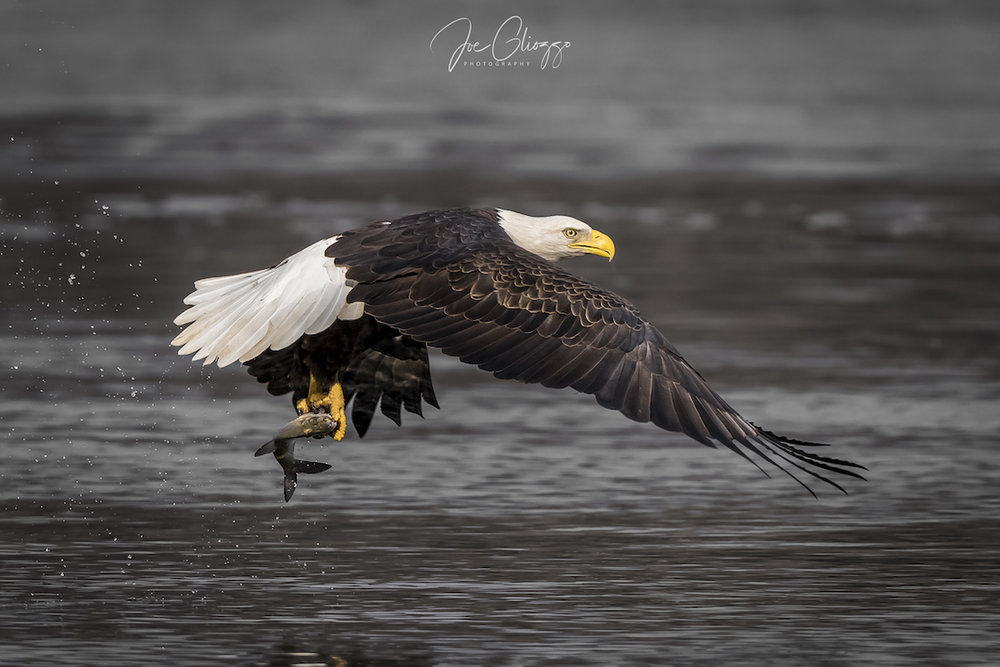 THE CONOWINGO DAM IN MARYLAND  IS AN EXCELLENT PLACE TO SEE BALD EAGLES DOING WHAT THEY DO BEST: FISH! IMAGE: JOE GLIOZZO