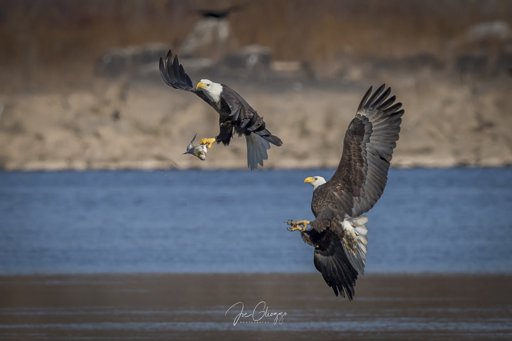 THE ACTION GETS INTENSE AT CONOWINGO DAM WHEN BALD EAGLES TRY TO STEAL EACH OTHER'S CATCH. IMAGE BY JOE GLIOZZO