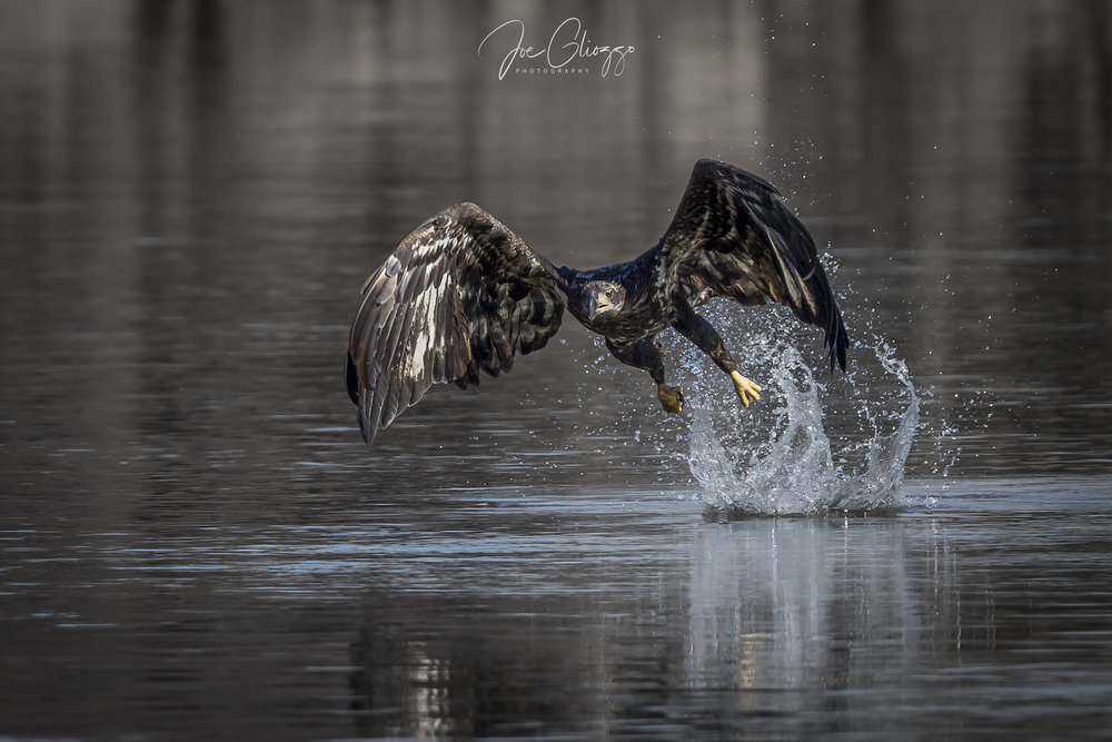 PRACTICE, LUCK, AND SHUTTER SPEED HELP TO CAPTURE ACTION SHOTS LIKE THIS JUVENILE BALD EAGLE TAKING OFF FROM THE WATER . IMAGE: JOE GLIOZZO