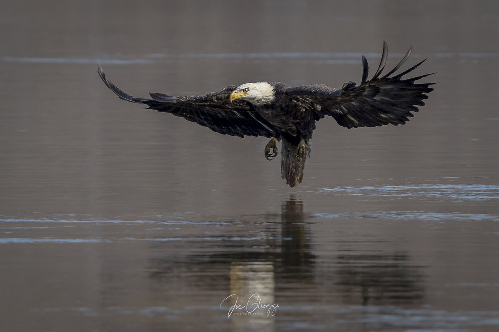 FROM THE BOAT LAUNCH WHERE THE PERSPECTIVE IS THE LOWEST TO THE HUNTING EAGLES. .A SUB-ADULT ATTEMPTS A CATCH. IMAGE: JOE GLIOZZO