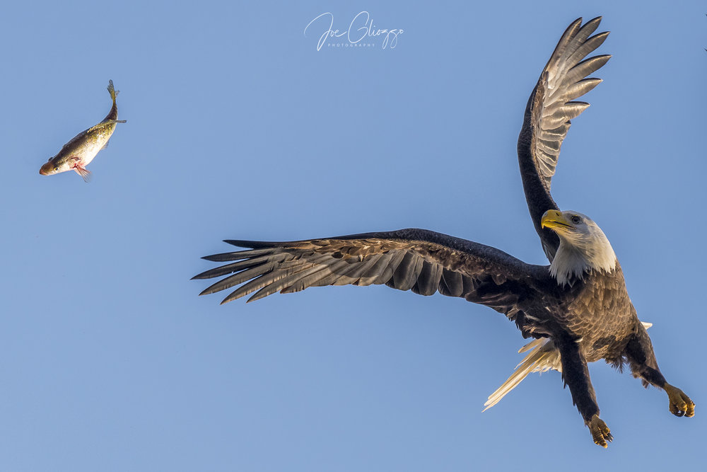 A BALD EAGLE LOSES HIS FISH MID-AIR. HOW TO FREEZE THIS MOMENT? SEE MY TIPS BELOW. IMAGE: JOE GLIOZZO