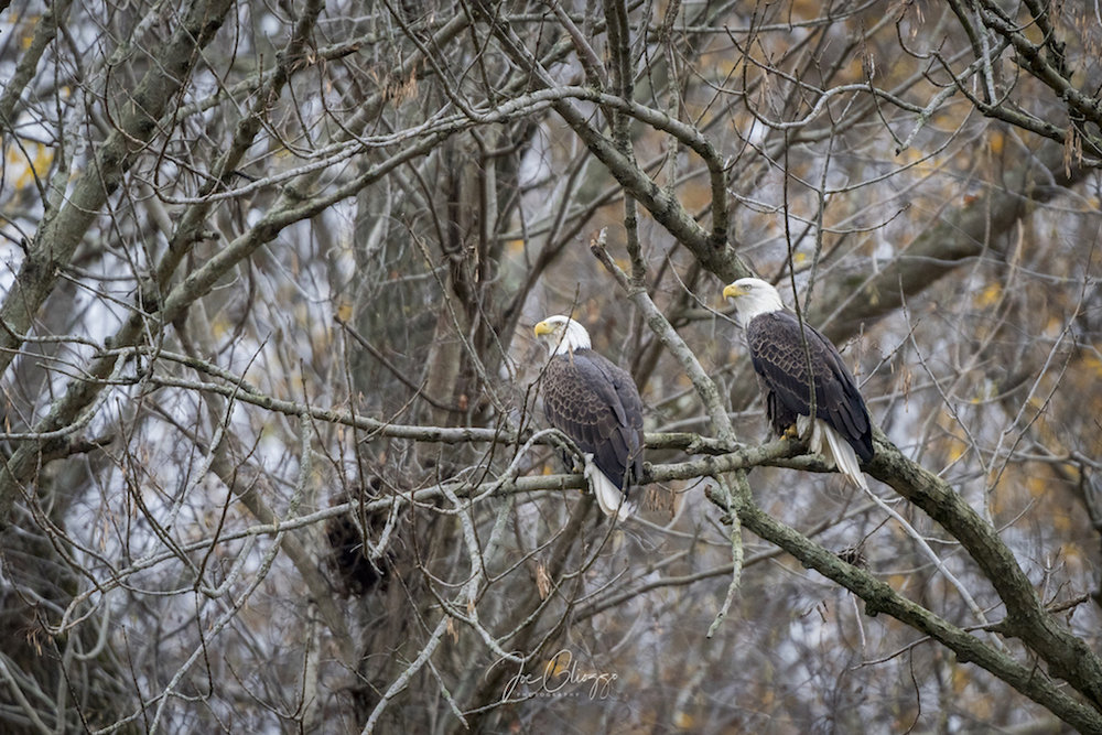 AFTER THEY CATCH A FISH THE BALD EAGLES LIKE TO GO BACK UP TO THE PARKING LOT INTO THE TREES TO DINE. IMAGE: JOE GLIOZZO