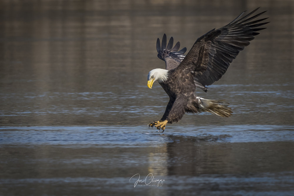 MATURE EAGLE AT THE EXACT MOMENT ITS TALONS BEGIN TO ENTER THE WATER. FROM BELOW THE FENCE ROCKS AT CONOWINGO DAM IMAGE JOE GLIOZZO