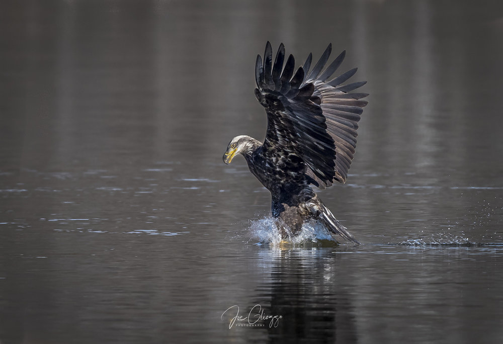 A JUVENILE BALD EAGLE MAKES A SPLASH. IT WILL BE UP TO FIVE YEARS OLD BEFORE THE FAMOUS SNOW WHITE HEAD AND TAIL FEATHERS FULLY APPEAR. IMAGE JOE GLIOZZO