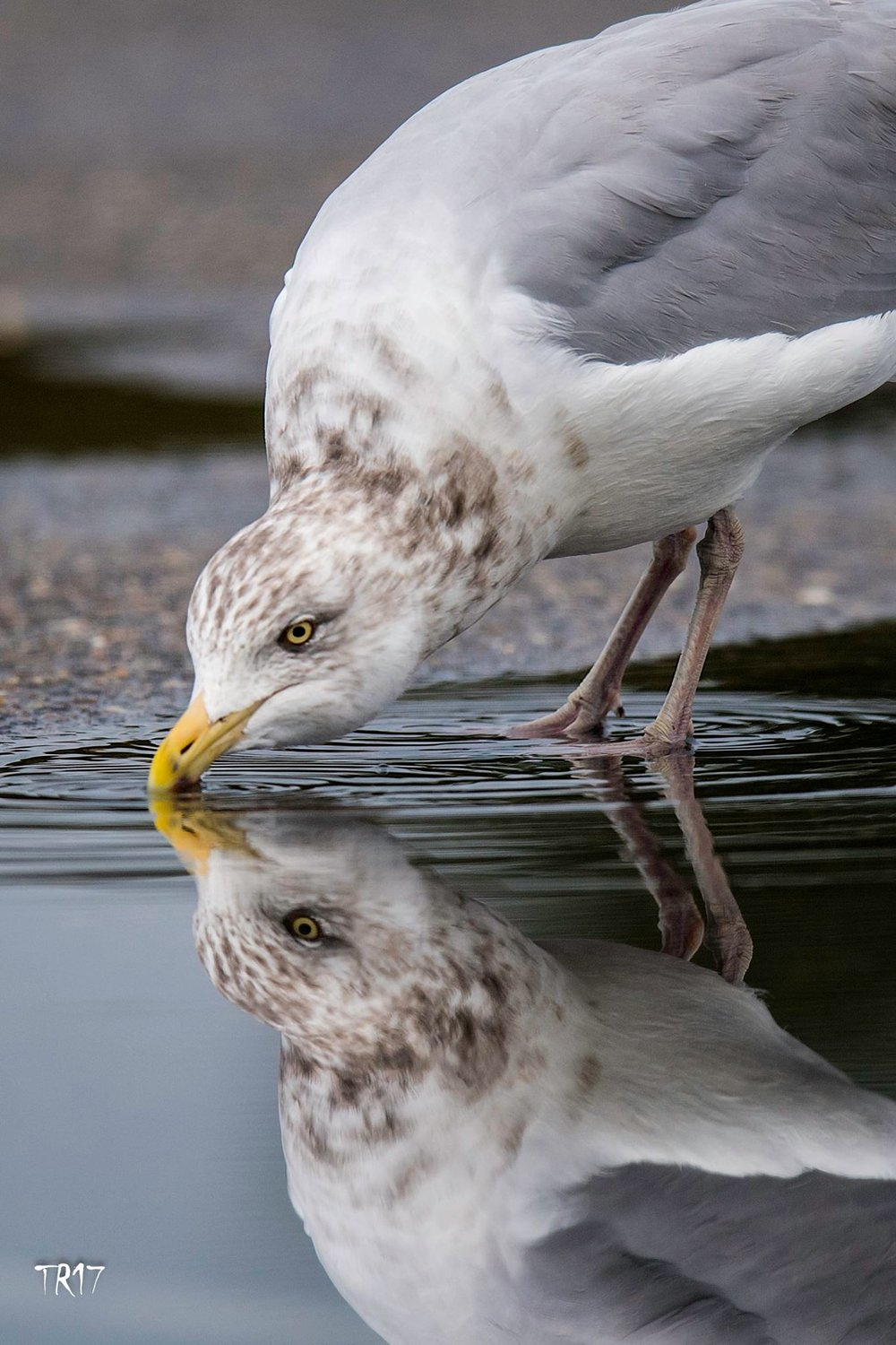 HERRING GULL IS ANOTHER OF LONG ISLAND'S RESIDENT AVIAN SPECIES. IMAGE: TOM REICHERT