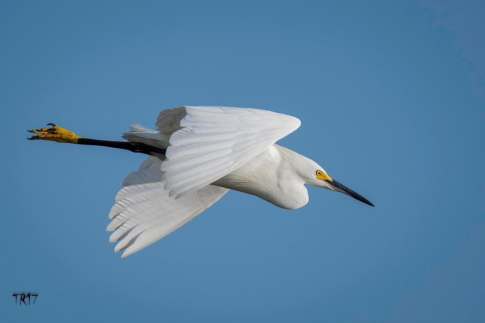 SNOWY EGRETS, LIKE THIS BEAUTY, ARE ONE OF MANY SPECIES YOU CAN EXPECT TO SEE ON LONG ISLAND'S SOUTH SHORE WETLANDS.  IMAGE: TOM REICHERT