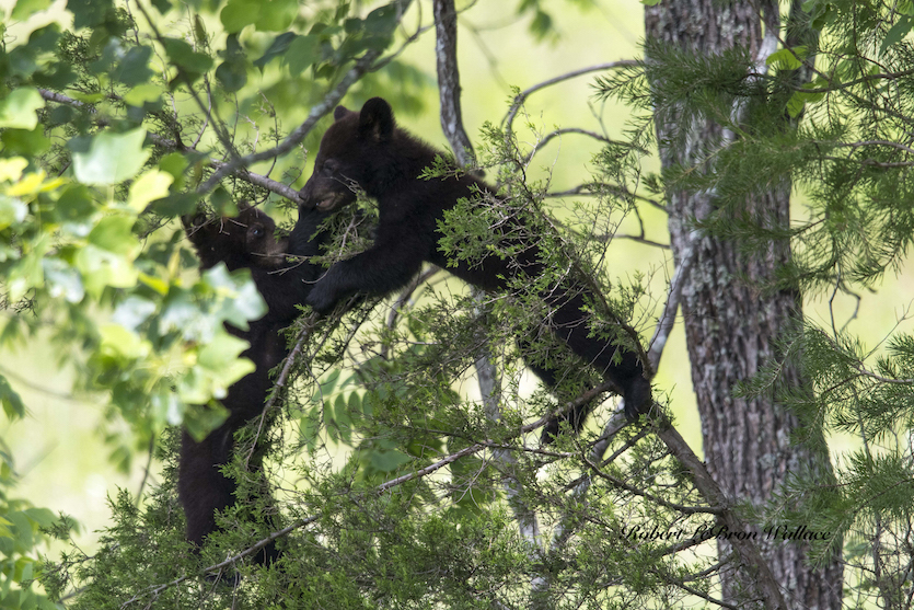 ROBERT WALLACE'S BEAT IS THE SOUTHERN UNITED STATES. RAIN DID NOT STOP HIM FROM PHOTOGRAPHING BLACK BEAR AT CADE'S COVE. IMAGE: ROBERT WALLACE