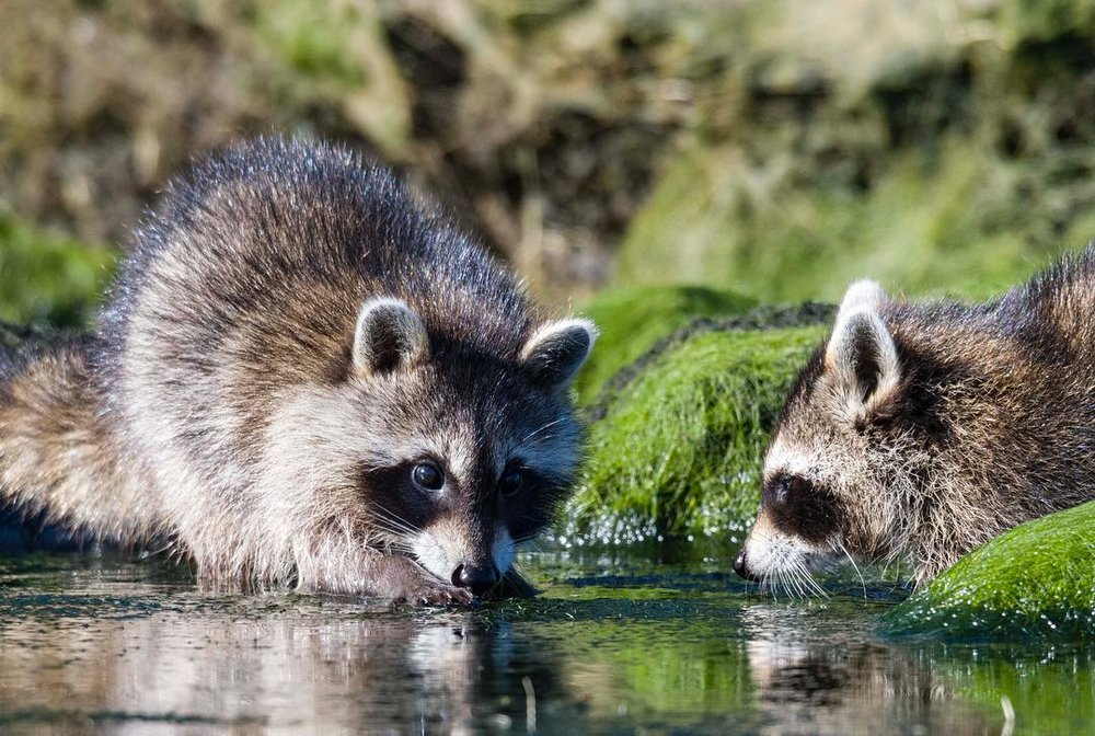 THE ADVENTURES ARE ALREADY POURING IN FOR 2018. ROBERT WALLACE MET THESE LITTLE BANDITS WHILE KAYAKING AT CHASSAHOWITZKA NATIONAL WILDLIFE REFUGE ON FLORIDA'S WEST COAST FOR THE NEW YEAR. WHO ELSE DID HE MEET? STAY TUNED, 2018 IS GOING TO BE A WILD YEAR! . IMAGE: ROBERT WALLACE.