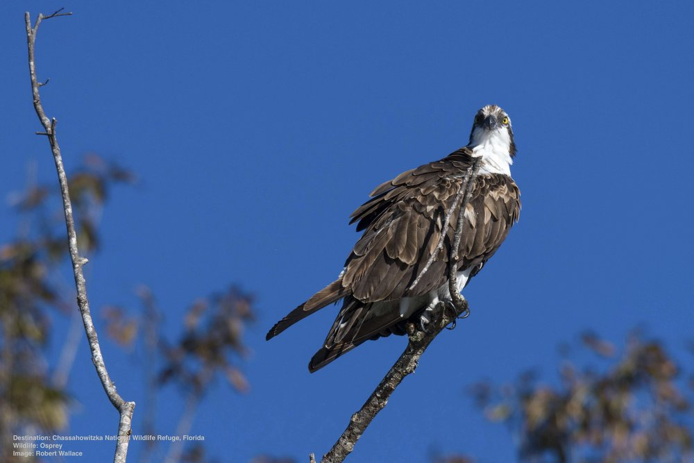 OSPREY ARE ANOTHER FISHING RAPTOR, THEY ARE A LITTLE SMALLER THAN THE BALD EAGLE WHO SEEM TO ENJOY STEALING THEIR CATCH! IT MAKES FOR SOME EXCITING AERIAL ANTICS ABOVE THE WATER. IMAGE: ROBERT WALLACE