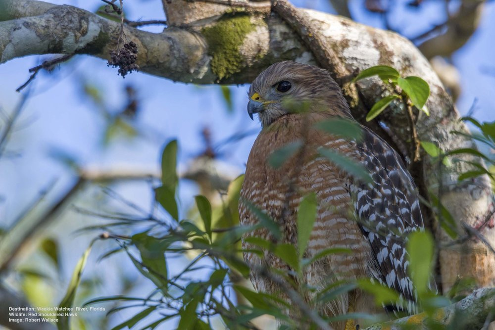 IT WAS QUIET ON THE WEEKI WACHE RIVER, JUST ME, A SWIMMING COTTON MOUTH SNAKE AND THIS RED SHOULDERED HAWK PERCHED HIGH ON A LIMB. IMAGE: ROBERT WALLACE