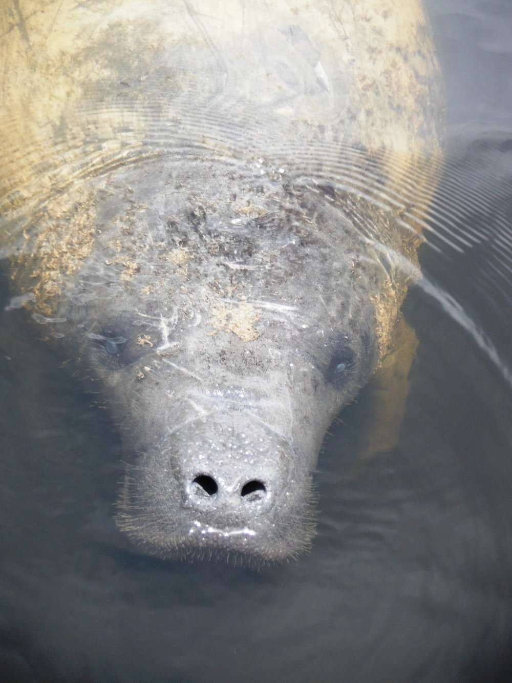 FLORIDA MANATEE CHECKING OUT A VISITOR. IMAGE THANKS TO:  TOUR THE GLADES,  EVERGLADES CITY. FLORIDA