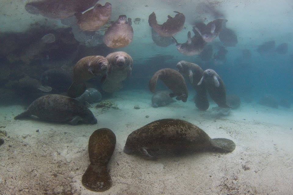 MANATEES GATHER AT A SPRING, DURING COLD MONTHS WARM SPRINGS ARE IMPERATIVE TO THEIR WELLBEING. MANATEES CAN REST ALMOST MOTIONLESS FOR UP TO 15 MINUTES BEFORE THEY RISE TO THE SURFACE FOR A BREATH. IMAGE: THANKS TO CRYSTAL RIVER NATIONAL WILDLIFE REFUGE COMPLEX.