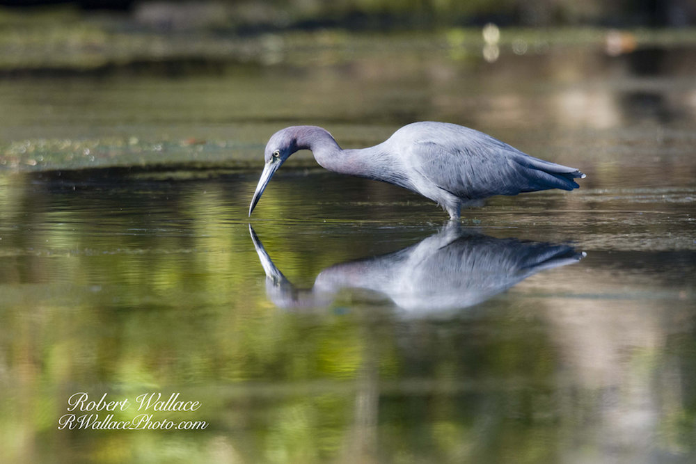 LITTLE BLUE HERON ON THE CHASSAHOWITZKA RIVER. HOW TO GET THE SHOT? SEE MY NATURE COAST PHOTOGRAPHY TIPS BELOW. IMAGE: ROBERT WALLACE.