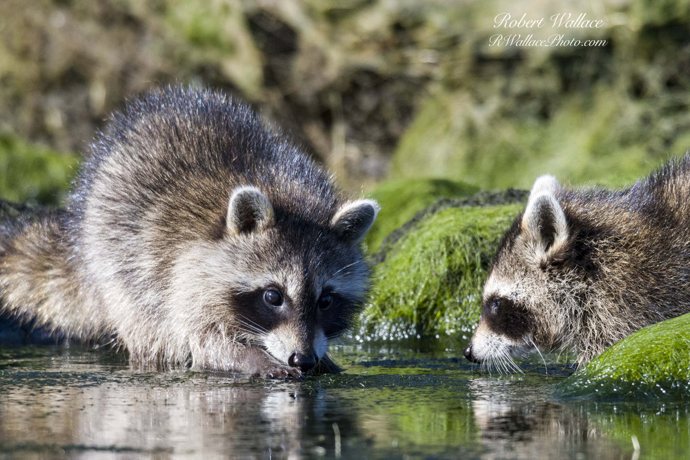 I CAME EYE-TO-EYE WITH FAMILY OF NORTH AMERICAN RACCOONS WHILE IN MY KAYAK FLOATING DOWN FLORIDA'S CHASSAHOWITZKA RIVER . IMAGE: ROBERT WALLACE