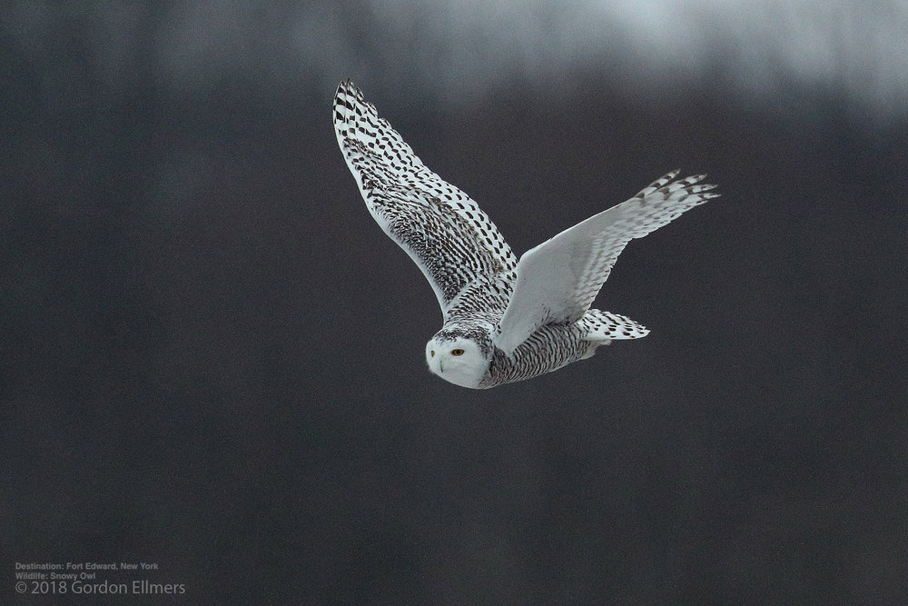 LET THEM BE HEALTHY AND STRESS-FREE. FOLLOW RESPONSIBLE OWL VIEWING PRACTICES - AND ENJOY! IMAGE: GORDON ELLMERS