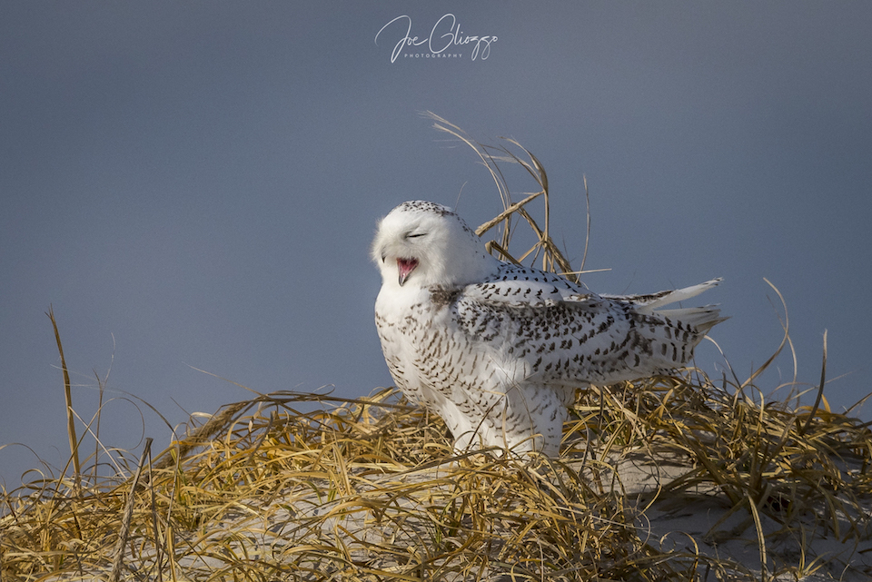 SNOWY OWL IN THE DUNES AT THE NEW JERSEY SHORE.  BE PATIENT AND QUIET AND WATCH THE OWL'S BEHAVIOR. IMAGE: JOE GLIOZZO