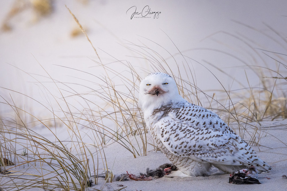 PATIENCE AND OBSERVATION PAY OFF IN WILDLIFE AND BIRD PHOTOGRAPHY. A VERY SATISFIED SNOWY OWL FINISHING ITS DUCK MEAL AT THE JERSEY SHORE . IMAGE: JOE GLIOZZO