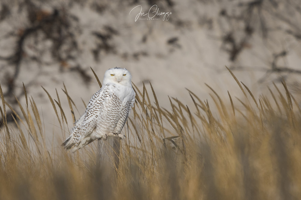 THE EYES ON THIS SNOWY OWL TELL US THAT SHE IS RELAXED AND WE ARE A RESPONSIBLE DISTANCE AWAY. IMAGE: JOE GLIOZZO
