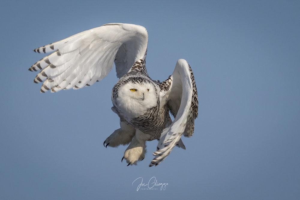 snowy-owl-island-beach-state-park-new-jersey.jpeg