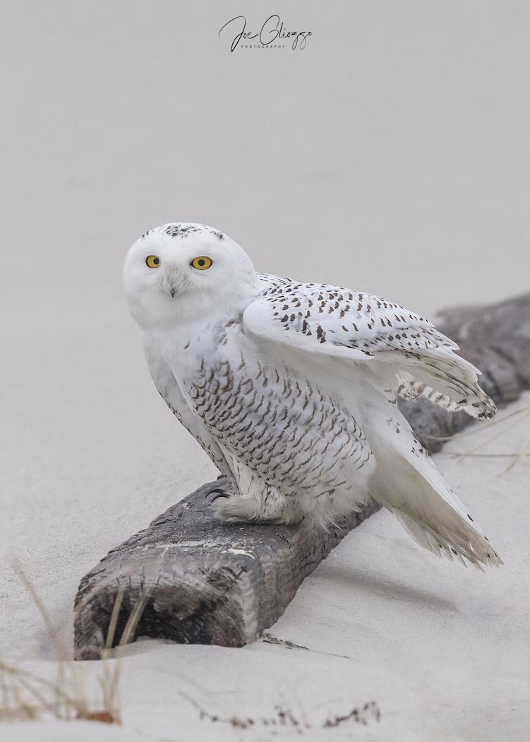 xxsnowy owl 12-22-252.jpg