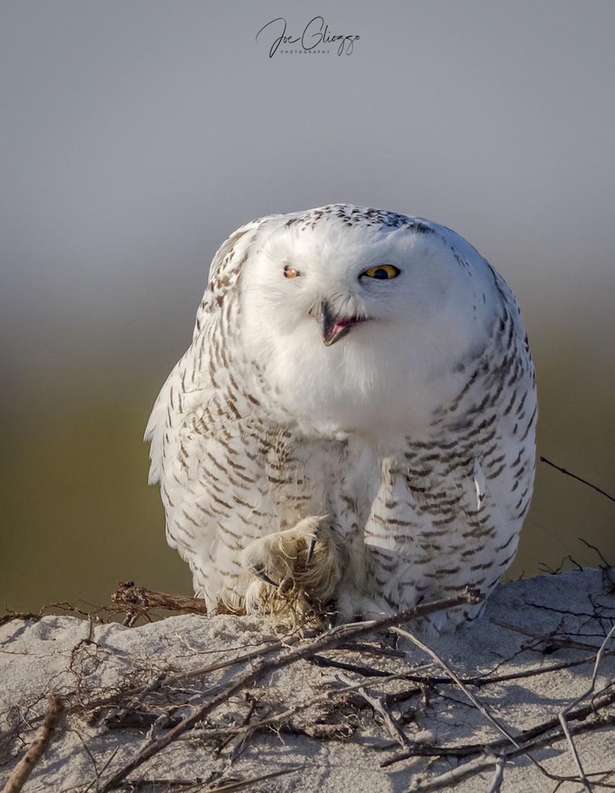 xxthanksgiving snowy owl 11-23-071.jpg