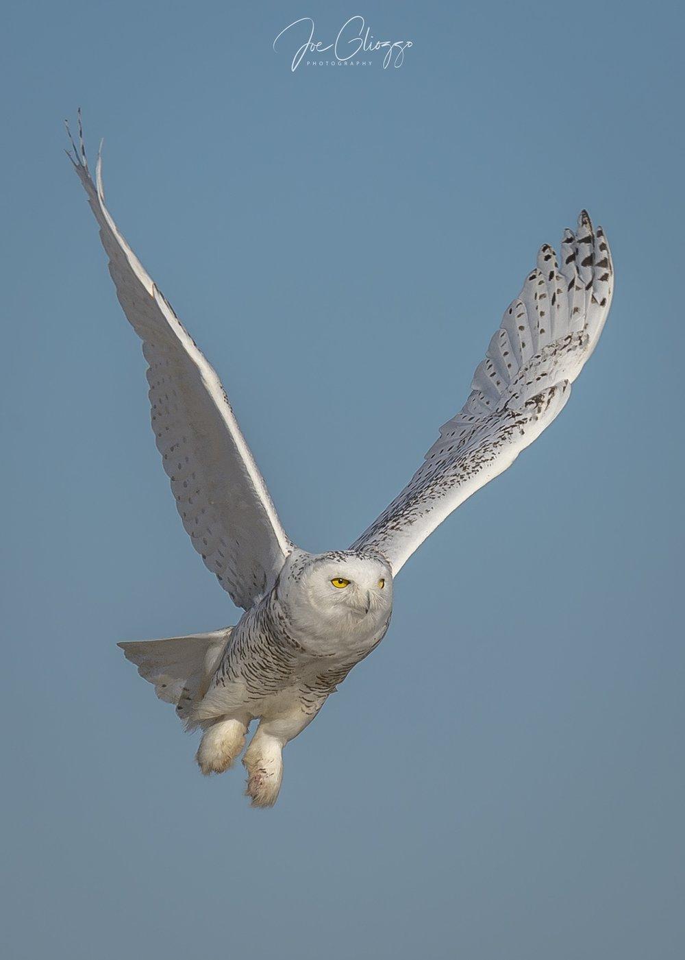 xxsnowy owl 11-25-388.jpg