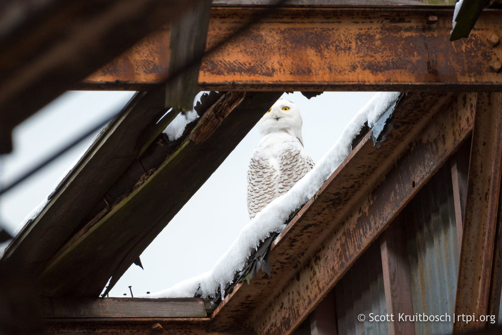 SNOWY OWL ON THE ROOF OF AN ABANDONED HANGER. SOME SNOWIES ARE MORE SKITTISH THAN OTHERS. GIVE THE BIRDS PLENTY OF ROOM.IMAGE: SCOTT KRUITBOSCH THANKS TO  THE RTPI  (ROGER TORY PETERSON INSTITUTE OF NATURAL HISTORY)