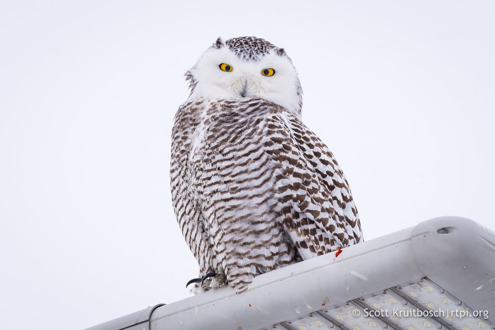 YOU CAN SEE EVIDENCE OF MEALS THAT THIS SNOWY OWL, A PRESUMED JUVENILE FEMALE, HAS BEEN ENJOYING ON HER ROOF PERCH. IMAGE: ©SCOTT KRUITBOSCH THANKS TO  THE RTPI