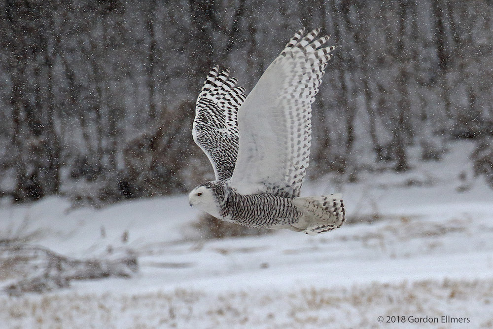 xxOwl, snowy Ft Ed Snow storm hunting 6:13.jpg