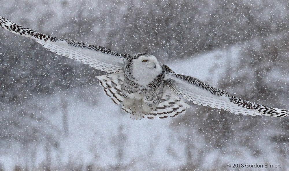 xxowl, snw hunting Ft Ed snow storm 020418_16.jpg