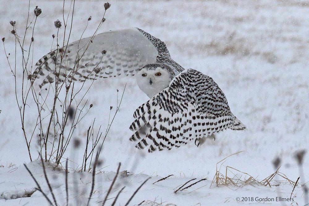 xxowl,snw hunting snow storm Ft Ed 11:13 020418_15.jpg