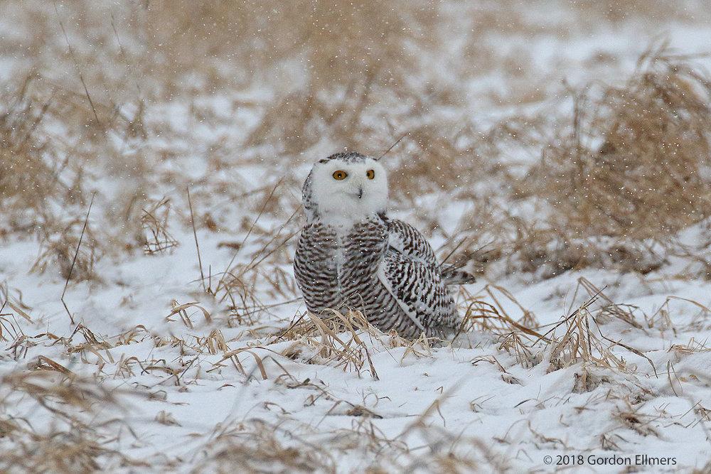 xx Owl, ny Hunting 5:13 snow storn Ft Ed 020418-11.jpg